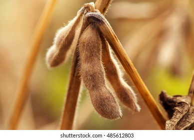 Ripe soybean pods close up, cultivated organic agricultural crop