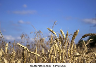 Ripe spikelets of wheat in a field, preparing for harvest, on the background of sky with clouds