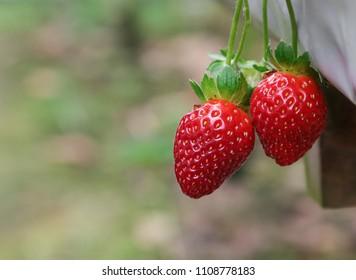 Ripe strawberry dangling outside the plastic base at strawberry farm.
