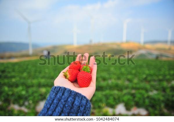 Ripe Strawberry Picking in The Farm
