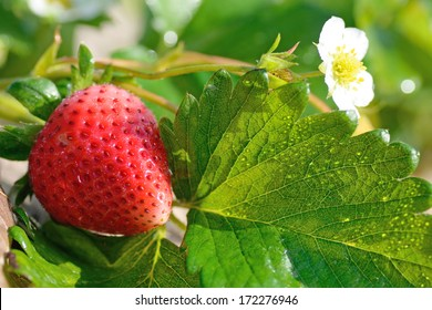 ripe strawberry in a stawbery tree in chaing rai thailand