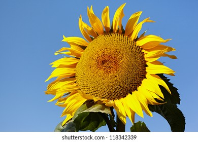 Ripe sunflower on background the clear blue sky