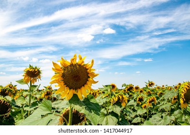 Ripe sunflower on foreground of rural crop field landscape. Harvest summertime. Agricultural backdrop of Helianthus annuus planting in countryside of Ukraine.