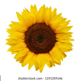 Ripe sunflower with yellow petals and dark middle, isolated on white background. Seeds.