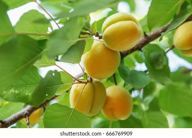 Ripe sweet apricot fruits growing on a apricot tree branch in orchard. Apricot ripening