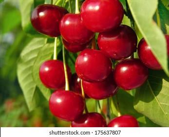 ripe sweet cherry on a tree in the garden