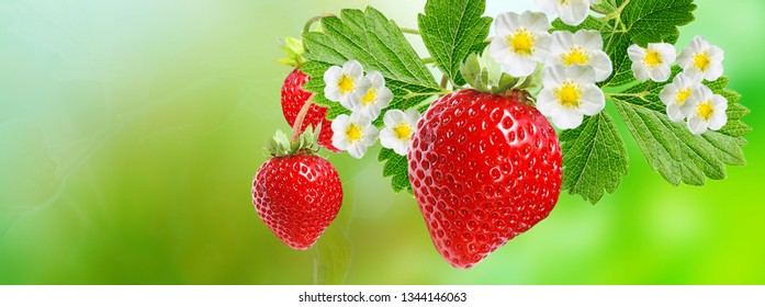 ripe sweet garden strawberry
