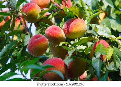Ripe sweet peach fruits growing on a peach tree