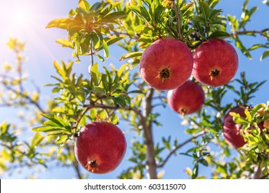 ripe and sweet pomegranates (garnets )on the tree