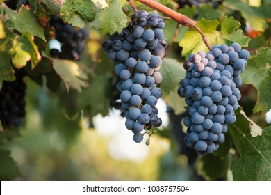 Ripe Syrah grapes on vine, close-up with glow in background and selective focus