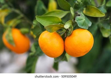 Ripe tangerine fruits on the tree. Fruit garden.