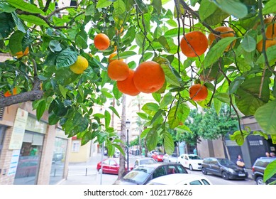 Ripe tangerines hanging from branches in Valencia
