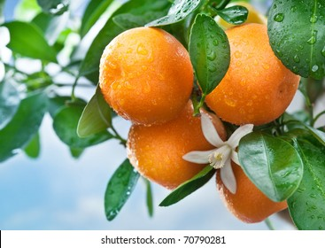 Ripe tangerines on a tree branch. Blue sky on the background. Citrus background.