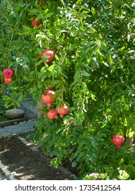 Ripe, tasty, natural pomegranate fruits hang on a branch in the garden. Harvest soon. Garden work