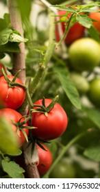 ripe tomato in garden