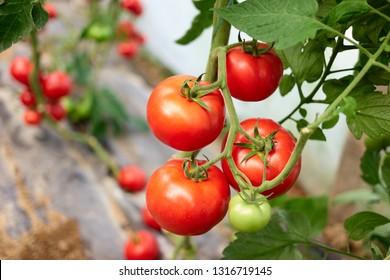 Reife Tomatenpflanze, die im Gewächshaus wächst. Frisches rotes Gemüse, das auf dem Ast hängt. Ökologische pflanzliche Erzeugung.