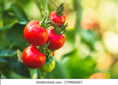 Ripe tomato plant growing in greenhouse. Fresh bunch of red natural tomatoes on a branch in organic vegetable garden. Blurry background and copy space for your advertising text message.
