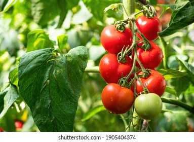 Ripe tomato plant growing in greenhouse. Fresh bunch of red natural tomatoes on branch in organic vegetable garden. Organic farming, healthy food, BIO viands, back to nature concept.