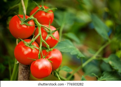 Ripe tomato plant growing in greenhouse. Tasty red heirloom tomatoes. Blurry background and copy space