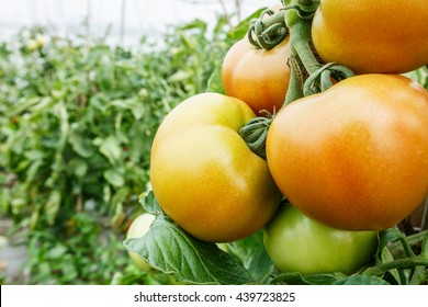 Ripe tomatoes grown in greenhouses