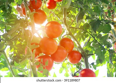Ripe tomatoes natural