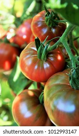 Ripe tomatoes on the vine in an organic kitchen garden, Beef tomatoes ready for harvest
