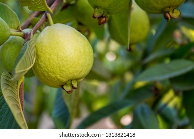 Psidium Images, Stock Photos & Vectors | Shutterstock