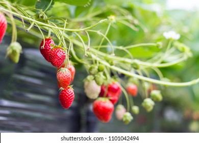 Ripe and underripe strawberries on the tree at the garden in Japan