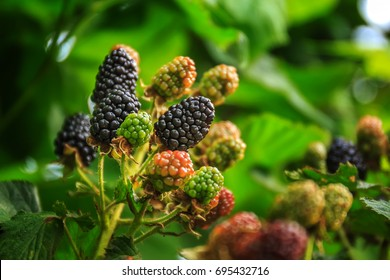 ripe and unripe blackberries on the bush with selective focus. Bunch of blackberries.