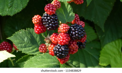 Ripe and unripe blackberries (Rubus sectio rubus) Rosaceae family. Location: Bavaria, Germany