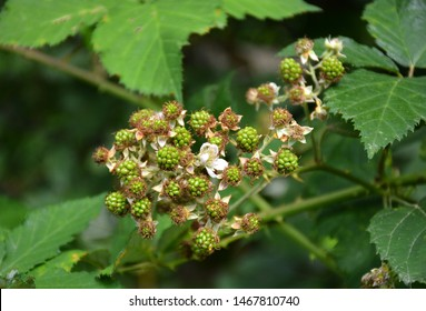 Ripe and unripe blackberries. Wild fruits blackberries on a branch. Unripe blackberry on a shrub. Blackberry prickly bush. Green blackberries on a shrub. Blackberry flowering bush. Black and red fruit