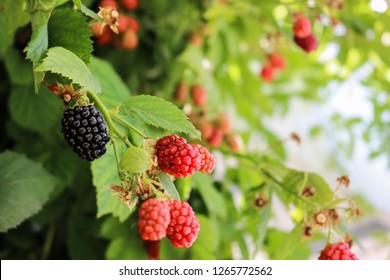 ripe and unripe blackberry grows on the bush. blackberry background
