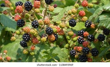 Ripe and unripe blackberrys (Rubus sectio Rubus).  Hanover district, July 20, 2018