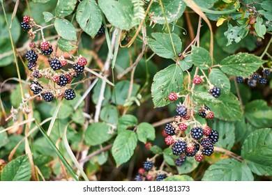 Ripe and unripe blackberrys, Rubus sectio Rubus.