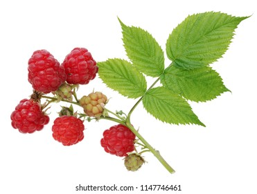 Ripe and unripe red and green  berries of a raspberry on branch. Isolated on white studio macro shot