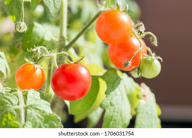 Ripe and unripe small tomatoes in front of brown background