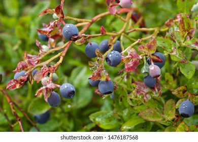 Ripe and wet common bilberries (vaccinium myrtillus). Season: Summer 2019. Location: Western Siberian taiga.