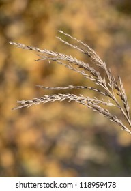 ripe wheat as background. macro