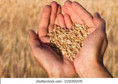 Ripe wheat bean seed in farmer hands close-up shot.