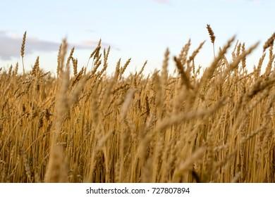 ripe wheat close-up