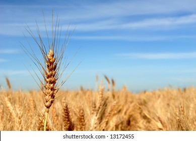 Ripe Wheat Detail Against Blue sky