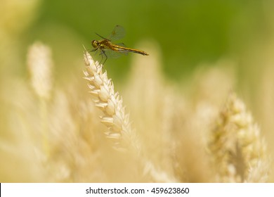 Ripe wheat with dragonfly sitting on the ear