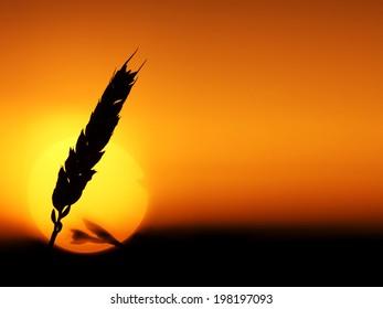 Ripe wheat ear and setting sun