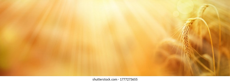 Ripe wheat ears with golden sunbeams. Close-up with short depth of field and abstract bokeh. Background for summer and autumn with space for text.