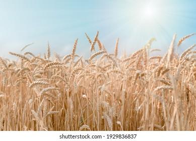 Ripe wheat field against blue sky argicultural background
