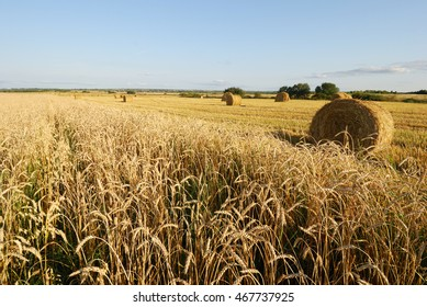 Ripe wheat field, agriculture, harvest