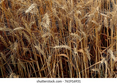 Ripe wheat in field awaiting harvest