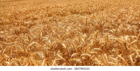 Ripe wheat field background. Harvest. Farming - Shutterstock ID 1857495151