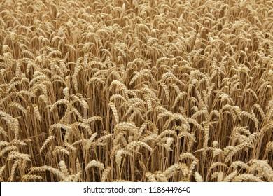 Ripe wheat field. Background texture.