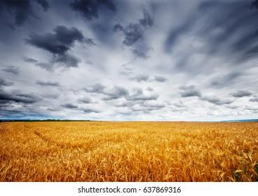 ripe wheat field and blue sky in Ukraine
